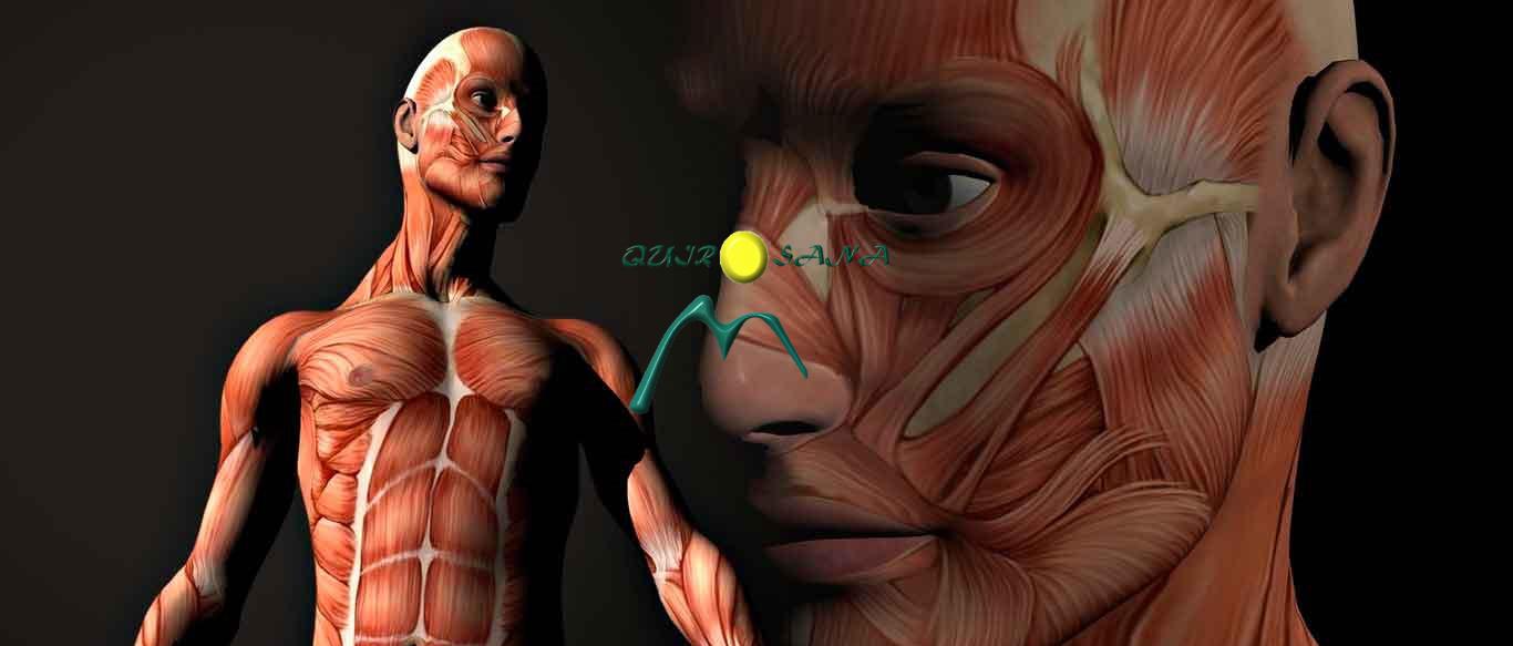 Musculos-del-cuerpo-humano_L